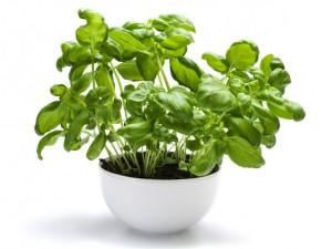 mosquito-repellent-plants-basil