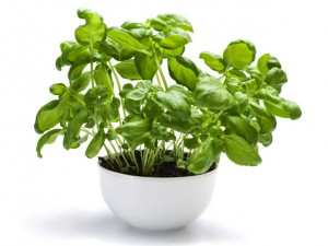 mosquito-repellent-plants-basil