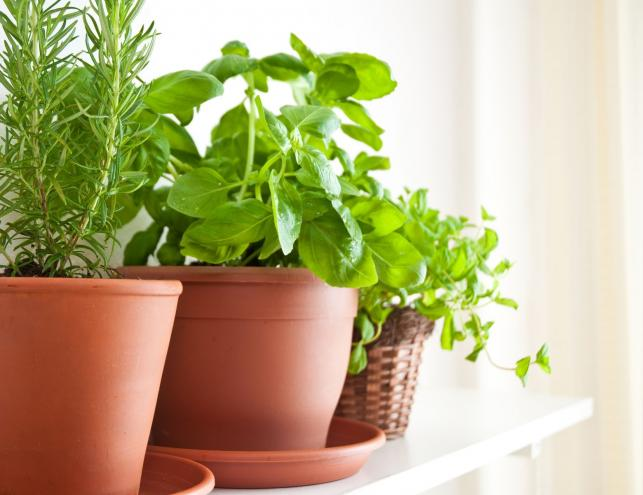 7 Mosquito Repellent Plants For Your Home Pest Hacks