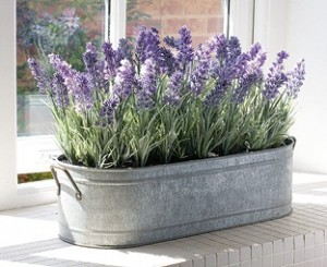lavender - How To Grow Lavender Indoors