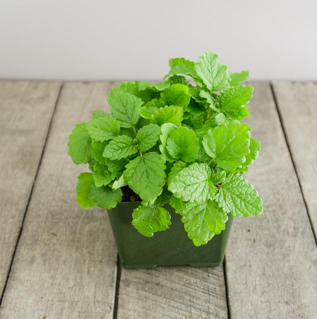 mosquito-repellent-plants-lemon-balm