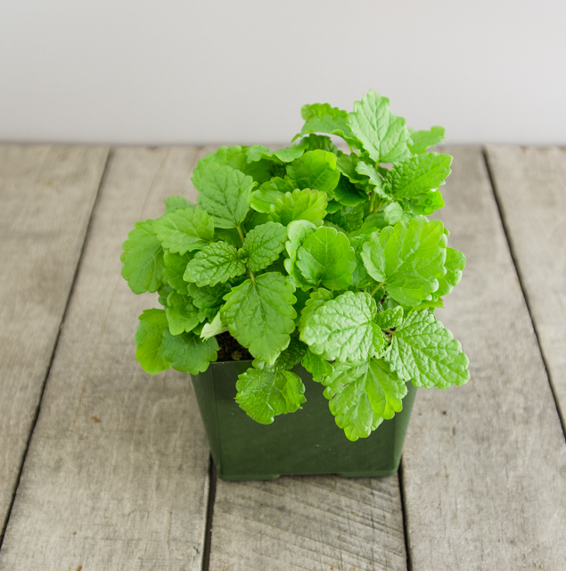 mosquito-repellent-plants-lemon-balm