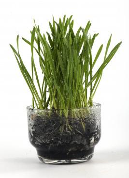 mosquito-repellent-plants-lemongrass