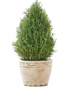 mosquito-repellent-plants-rosemary