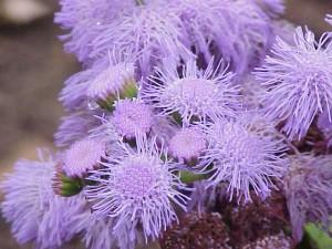 natural-mosquito-repellent-plants-ageratum