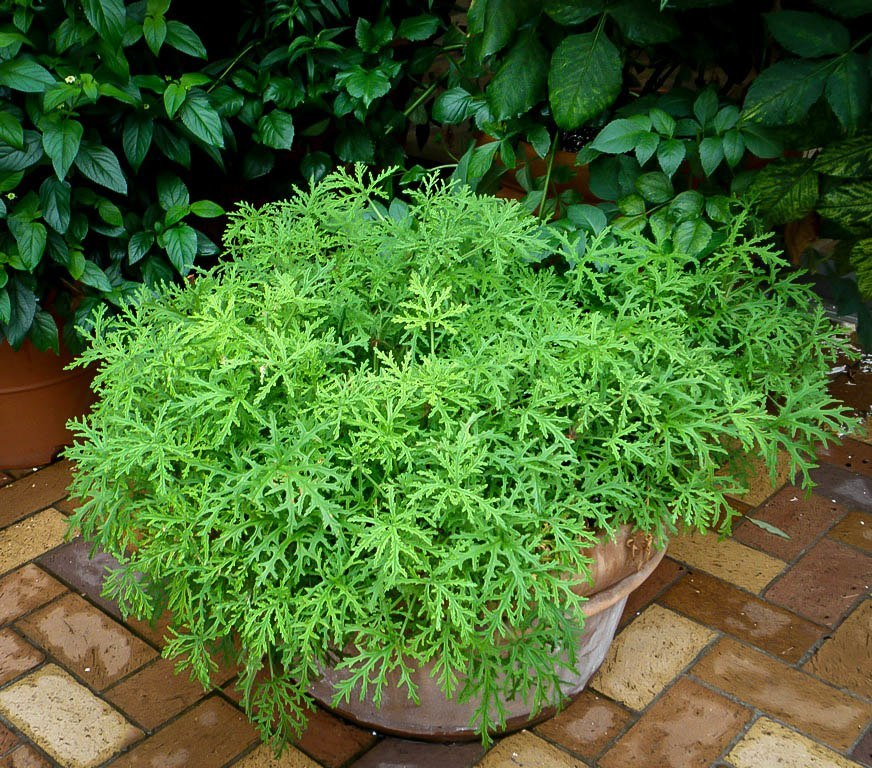 6 easy to grow natural mosquito repellent plants pest hacks - Mosquito repellent plants ...