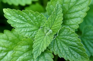 plants-to-get-rid-of-mosquitoes-catnip