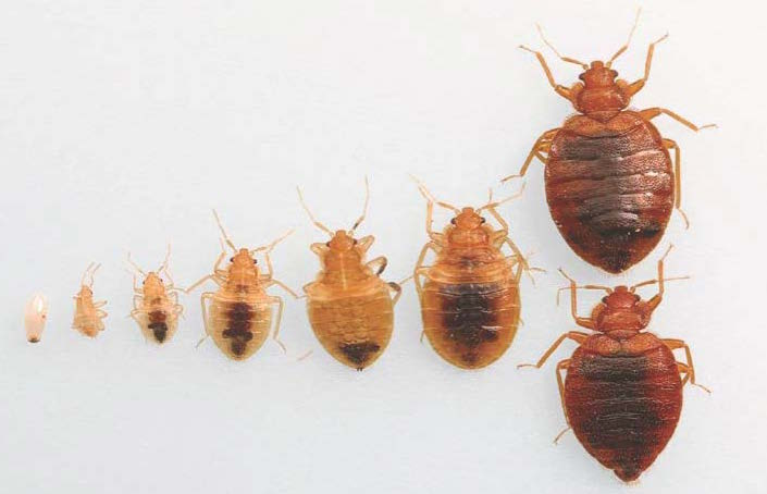 Bugs That Look Like Bed Bugs But Bigger