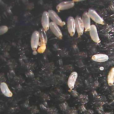 Bed Bug Larvae How Do You Know...