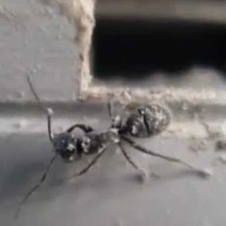 diatomaceous earth kill ants