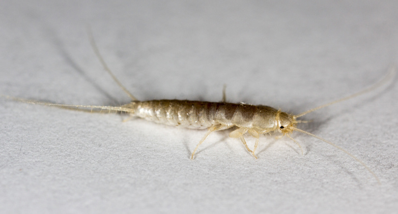 silverfish infestation signs