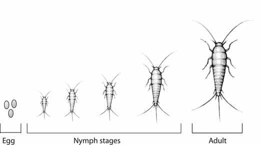 What Is The Silverfish Life Cycle