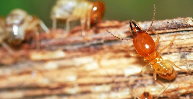Termite Facts And Faqs Cause Knowing Is Half The Battle