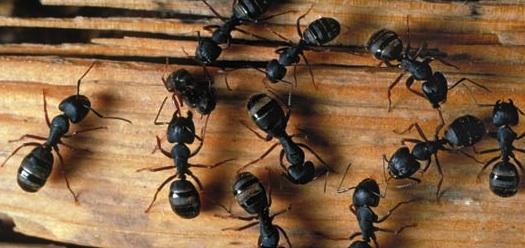 A Close Up Of Carpenter Ant Crawling On Wood
