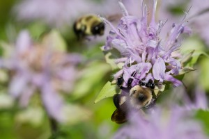 anti-mosquito-plants-horsemint