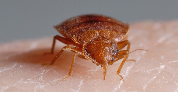 Do I Have Bed Bug Bites 5 Bed Bug Bite Symptoms To Check For Pest
