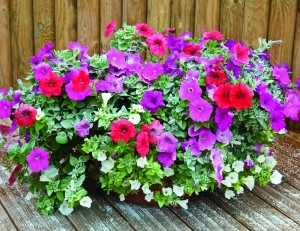 plants-that-get-rid-of-mosquitoes-petunias
