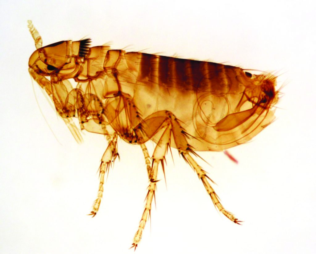 what do fleas look like