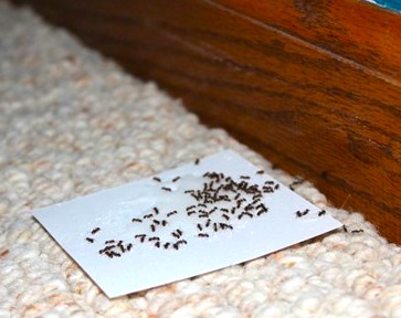 how-to-get-rid-of-ants-4