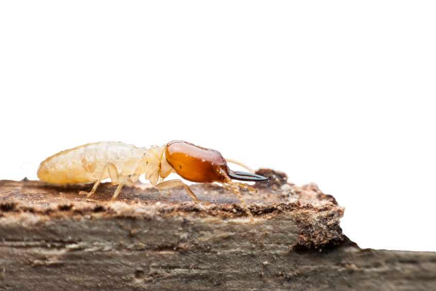 How To Kill Termites What Are The Best Termite Killers And What - How-to-remove-termites-from-furniture