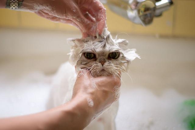 Best Flea Shampoo For Cats 3 Purrfect Picks To Kill Fleas