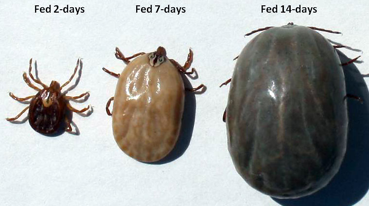 flea vs tick