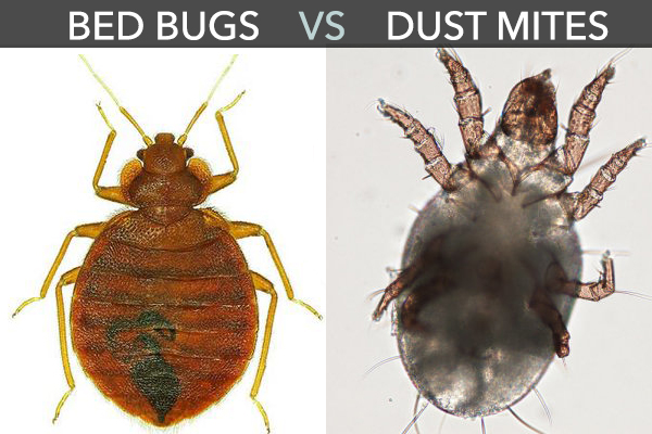 Dust Mite Vs Bed Bug 6 Foolproof Ways To Tell The Difference Pest Hacks