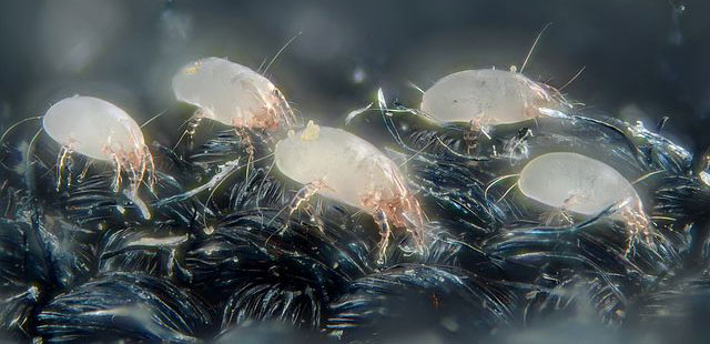 what do dust mites look like